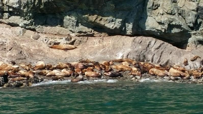 Steller sea lions Valdez