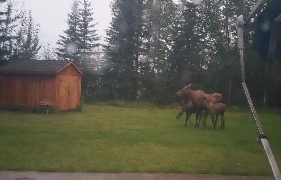 Moose-in-yard
