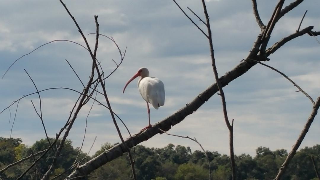 white.ibis