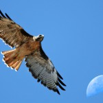 Red-tailed_Hawk_with_moon_over_Estero_Bay_CA_-_composition_red-tail-moon-composite-2630s_(323660913)[1]
