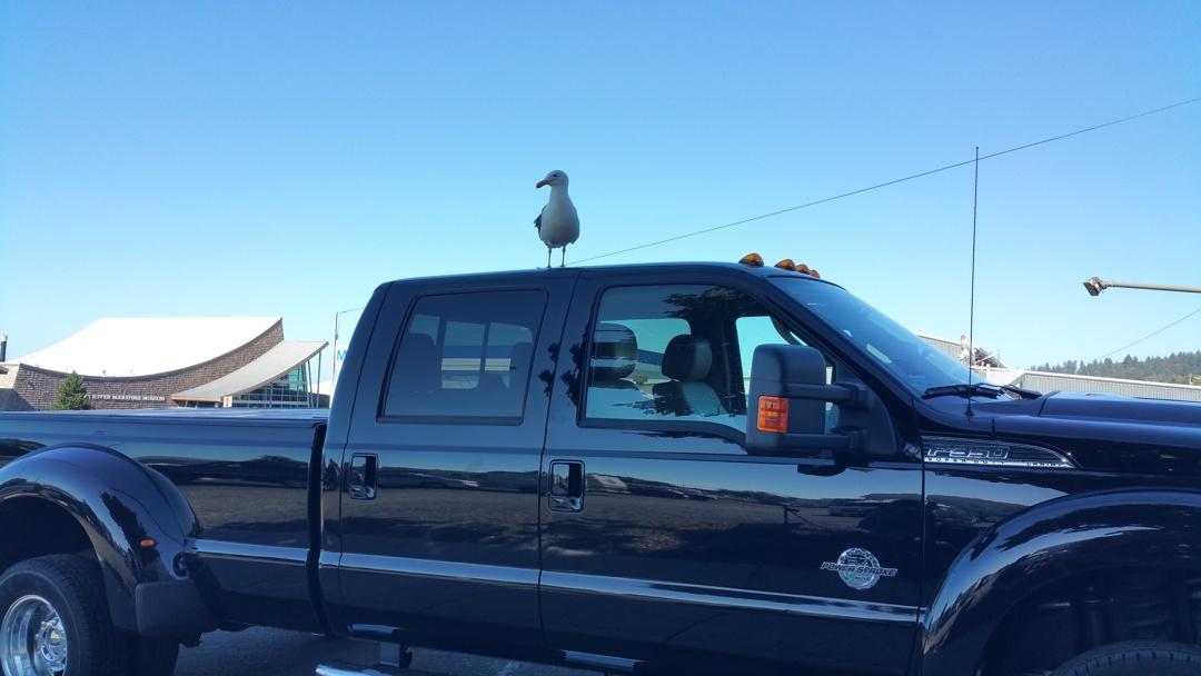 Gull-on-truck