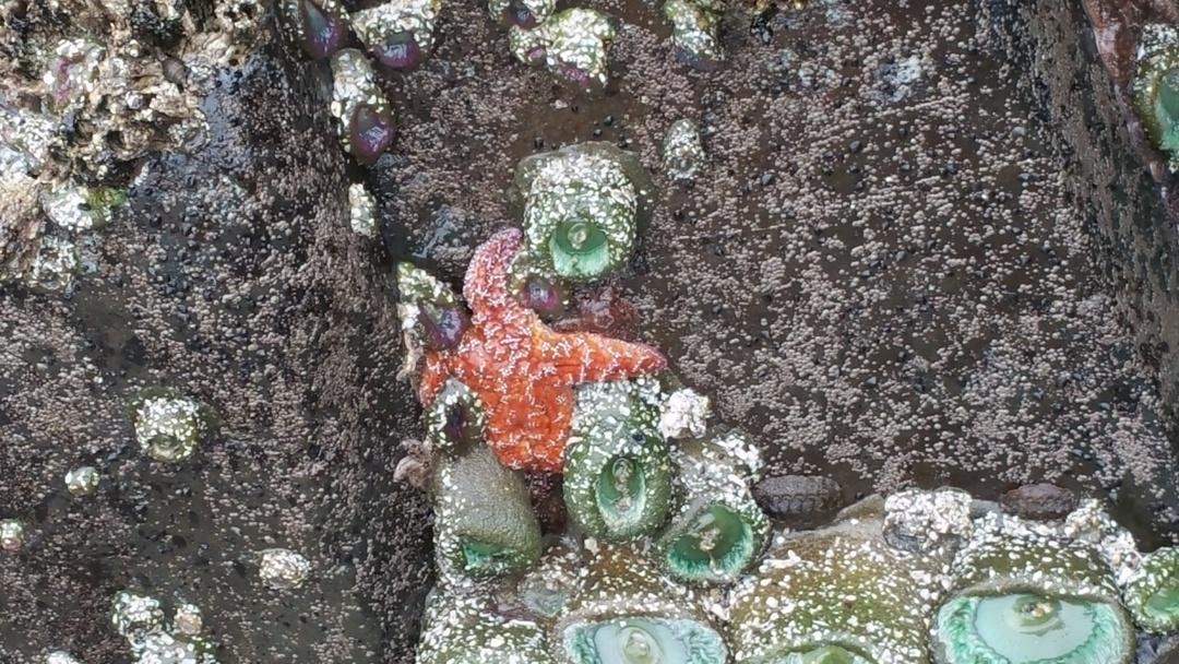 TidePools-starfish